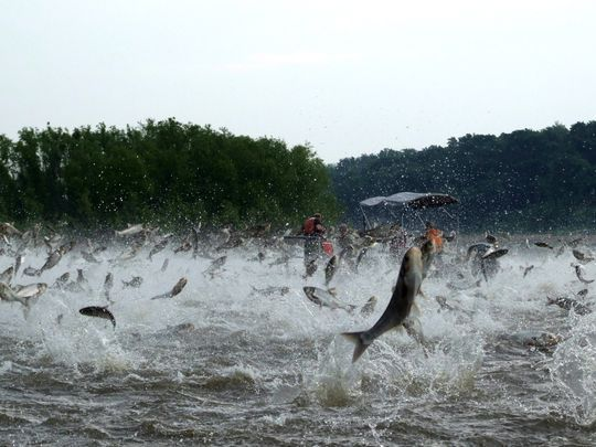 Tell Army Corps of Engineers to stop Asian carp now